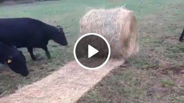 Vaca louca sai pulando e rolando tudo
