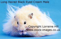 Long haired male Black Eyed Cream Syrian Hamster