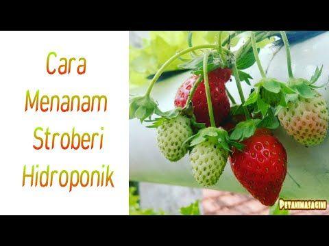 Cara Menanam Stroberi Hidroponik Youtube Make It Yourself Strawberry