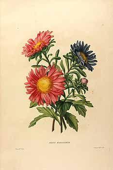 205681 Callistephus sinensis Bergmans var. Reine Marguerite / Vincent (born…