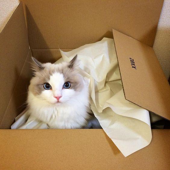 イカ耳ポテトが届きましたよ #ragdoll #ragdollcat #ragdollsofinstagram #instaragdoll #instacat #instagramcats #catsofinstagram #catlove #adorable #aww #pet #cat #neko #ラグドール #猫 #ネコ #ねこ #ねこ部 by _akurah