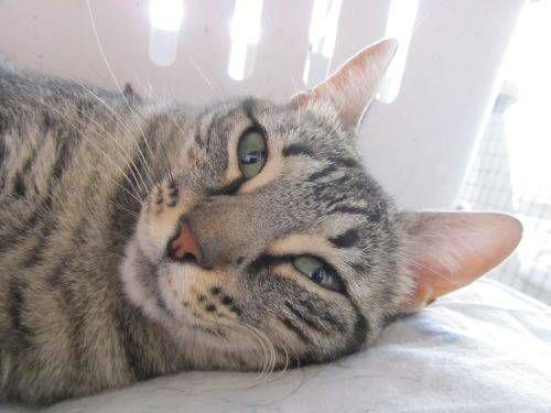 Helfende Hände e.V. - Katze Kimi (EKH 1 Jahr) sucht ein Zuhause   Steckbrief Nr…