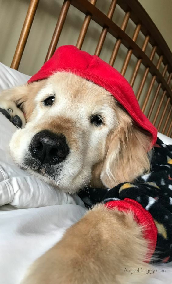 Golden Retriever Ti In His Pajamas Dog Goldenretriever