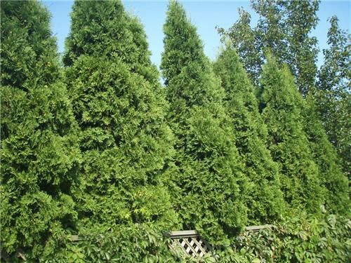 Privacy plants top 10 plants for hedging and screening for Low maintenance evergreen shrubs