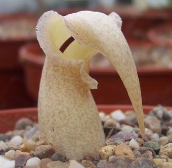 Biarum davisii - this tiny little plant from Turkey and Crete is dormant throughout the summer and you don't even know it's there. Then, in autumn, it sticks its little head out of the earth and makes this bizarre flower (a spathe) that just sits on the soil and then it sends up little shoots that will be leaves!