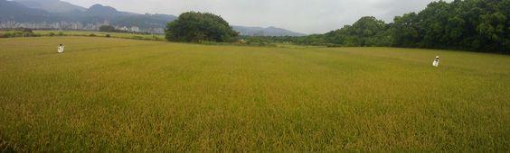 台北關渡平原的稻田