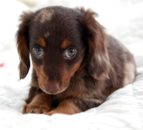 Shy Girl Baby Dogs Dachshund Puppies Cute Puppies