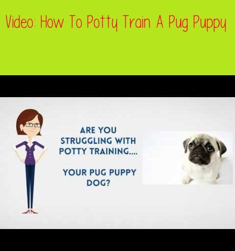 How To Potty Train A Pug Puppy House Train A Pug Fasthouse