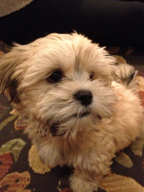 Bertie The Lhasa Apso Maltese Cross With Images Lhasa Apso