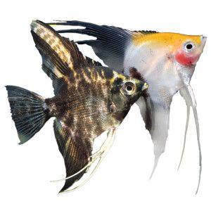 Angelfish live fish petsmart fresh water tank for Petsmart fish guarantee