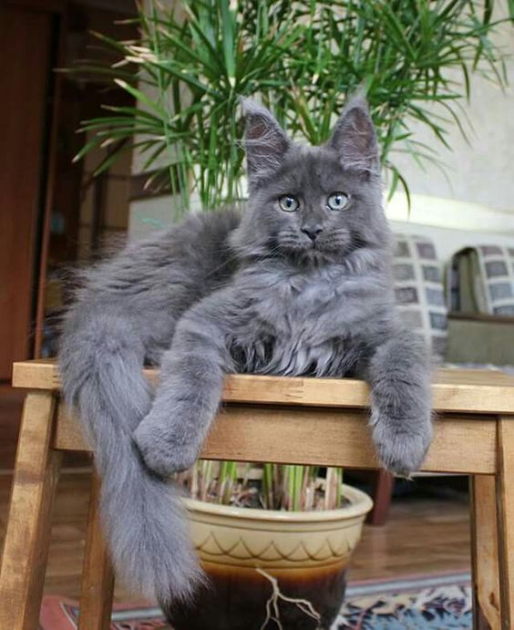 Pin On Maine Coons And Cats