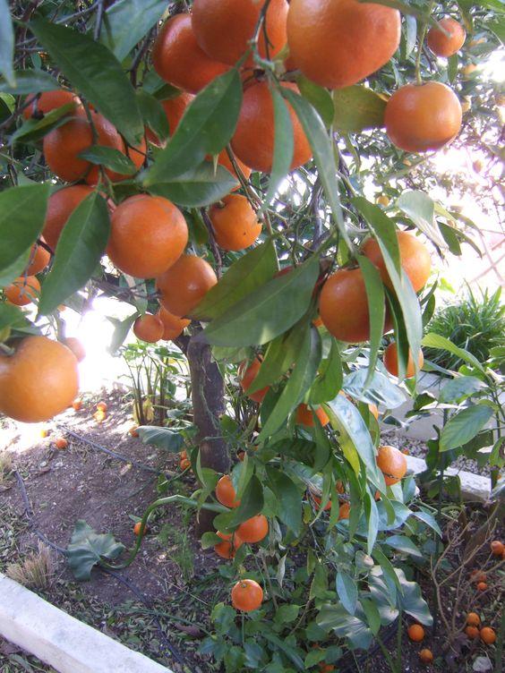 laranjas sevilhana no jardim