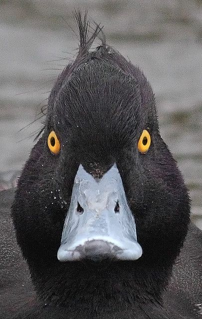 Mad Tufted BLACK Duck.
