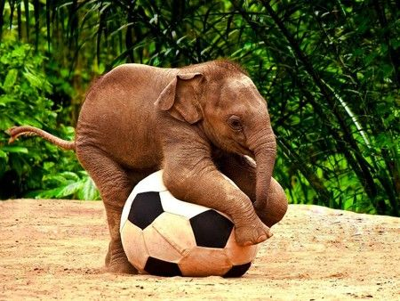 Elephant, Elephant Baby: Elephant Love, Elephant Playing, Baby Elephants, Soccer Ball, Baby Animal, Elephant Soccer, Soccer Elephant, Adorable Animal