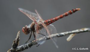 Dragonfly Swarm Project is a citizen science project to Join large-scale research of dragonfly swarm behavior.
