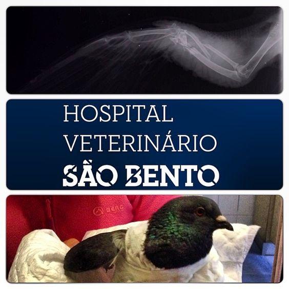 Hoje resolvemos a fractura da Selvagem :) #aves #pomba #ortopedia #veterinario #lisboa