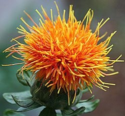Safflower Plant, safflower oil comes from this beautiful plant!