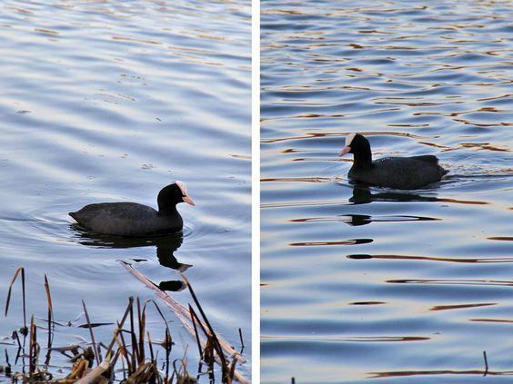 Лысуха чувствует себя на озере, как у себя дома, р-н Понарт. Фото: Evgenia Shveda