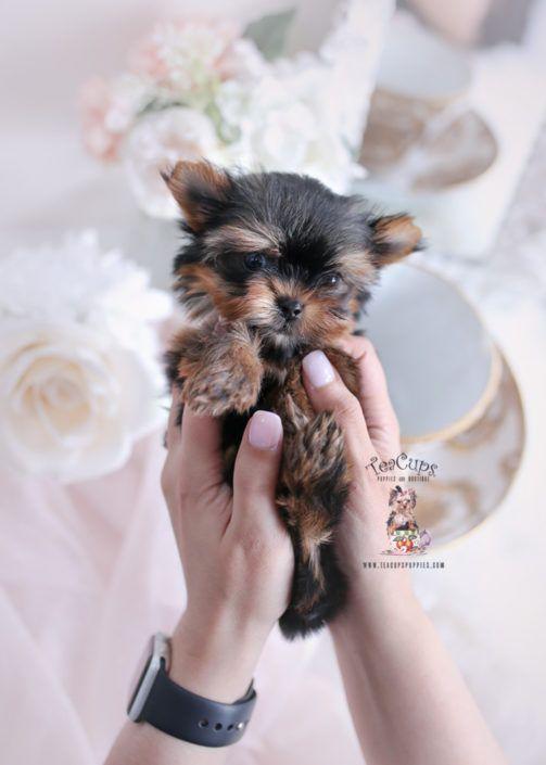 Toy Or Teacup Yorkies For Sale Teacup Yorkie Puppy For Sale Teacup Puppies Florida Dogsandpuppiesbig In 2020 Teacup Yorkie For Sale Yorkie Puppy Teacup Puppies