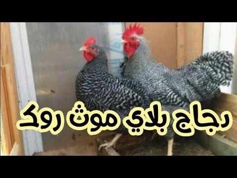 تربية الدجاج البلدي البياض سلالة بلايموث روك الأمريكي جميلة للمشروع Youtube Rooster Animals