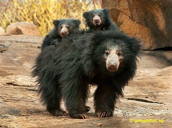 Sloth Bear   sloth bear with cubs poster gangadhar ag views 1106 tags
