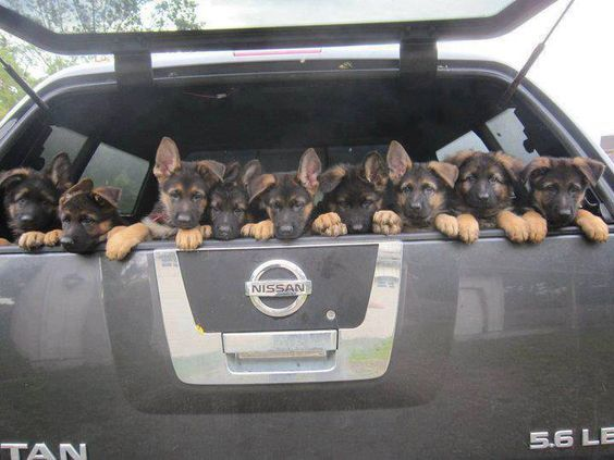 Uber Lyft Taxis With Dogs What Car Services Let You Bring Dogs German Shepherd Dogs Dogs German Shepherd