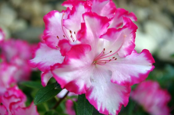 "Azalea ""M"" We would like to see a variety of colors for this plant- see other ""M"" pins"