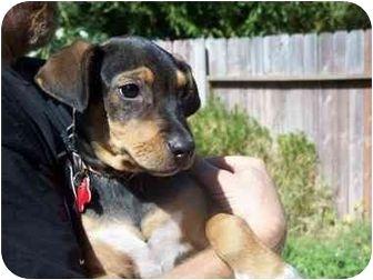 Beagleman Doberman Pinscher Beagle Mix Info Puppies 15 Awesome Dachshund Mixes You Won T Believe Are Real How To In 2020 Dachshund Mix Dachshund Mix Puppies Doberman