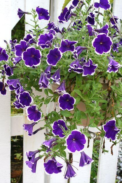Um jardim para cuidar: É tempo de petúnias...                                                                                                                                                     Mais