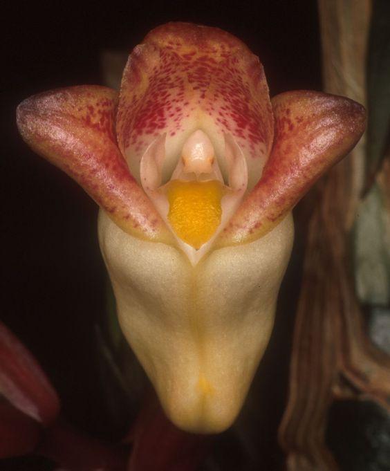 Acanthephippium | Acanthephippium sylhetense Lindl. 1833