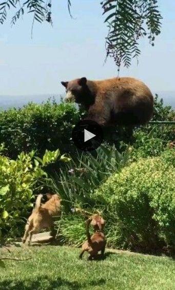 Esse urso tomou o maior susto ao passear na área dessa dupla