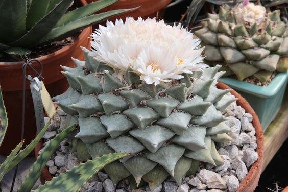 Kaktusi - Page 5 Aac8ae8035d94fec36210a1a7cdd3924