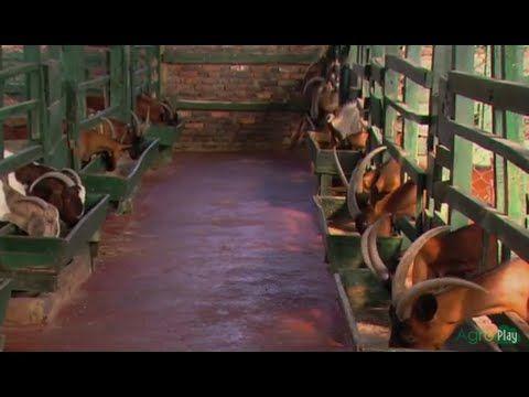 Cría de Cabras Alternativa Económica- Capricultura - TvAgro por Juan Gon...