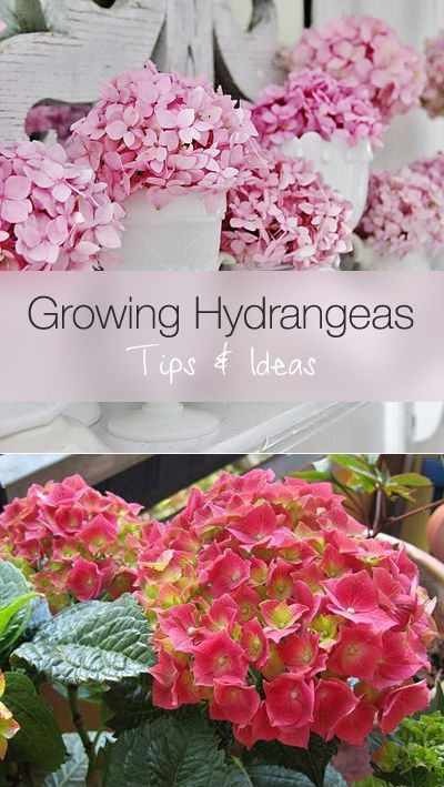 Sun and Shade: Most hydrangeas prefer morning sun and afternoon shade, and…
