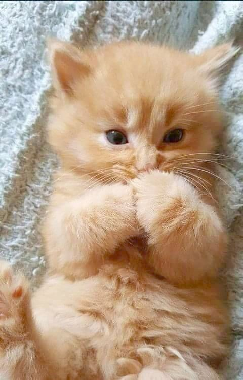 Cutest Kittens In The World For Sale Despite Cute Animals Eating