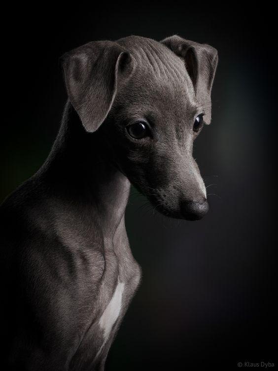 Photo Italian greyhound dog Ceylin by Klaus Dyba on 500px: