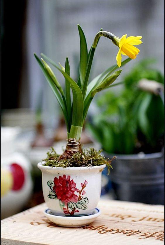 Tete a tete daffodil