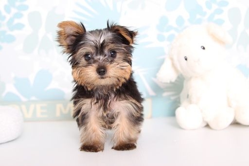 Yorkshire Terrier Puppy For Sale In Naples Fl Adn 62915 On Puppyfinder Com Gender Female Yorkshire Terrier Puppies Yorkshire Terrier Toy Yorkshire Terrier