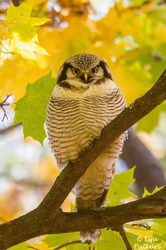 A Northern Hawk Owl looking fabulous with autumn colours in Helsinki, Finland. Image thanks to Eija Putkuri