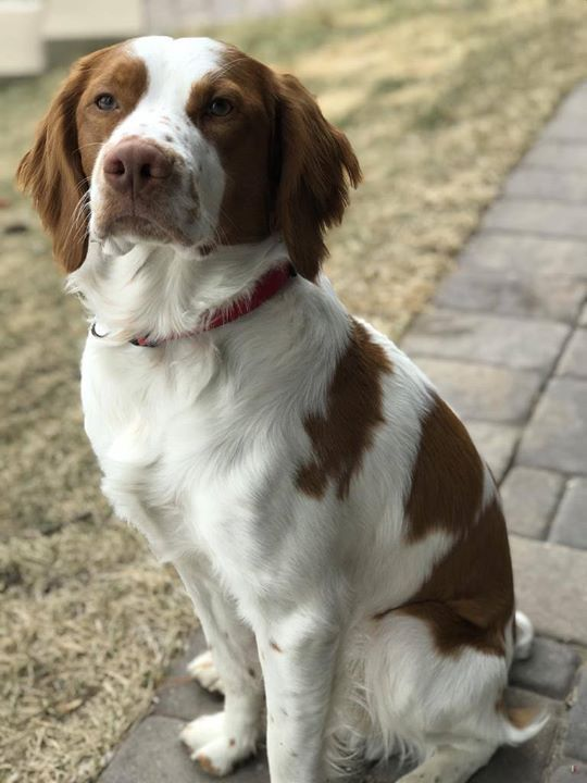 Lost Dog Mound Brittany Spaniel Male