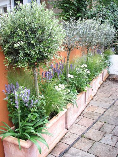 Potted Olive trees under planted with Agastache, agapanthus and anemone.