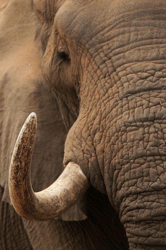 Elephant Tusker by Rudi Hulshof on 500px