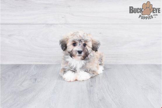 Haviar Havanese Puppy For Sale In Johnstown Oh Buckeye