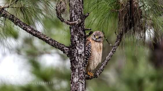 Red-Shouldered Hawk by RitaCaluori