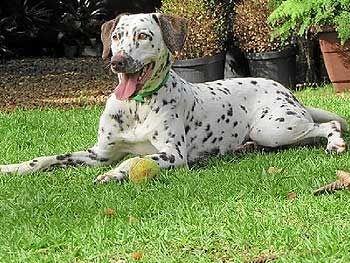 Assim como 30% dos cães da raça dálmata, Luna nasceu cega