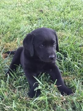 Labrador Retriever Puppy For Sale In Lebanon Or Adn 57286 On Puppyfinder Com Gender Femal Labrador Retriever Labrador Retriever Puppies Black Labrador Puppy