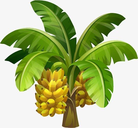 Banana Tree Images Banana Tree Tree Clipart
