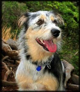 """australian shepherd airedale terrier mix"" - Google Search ..."