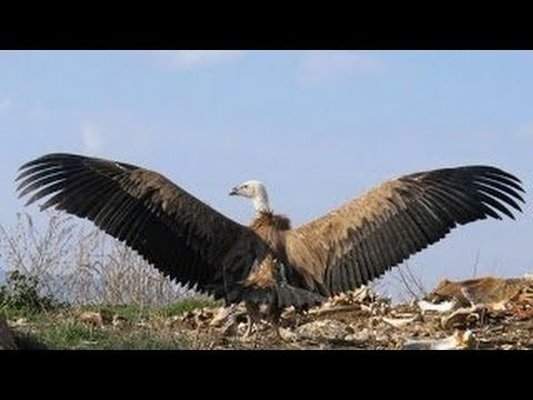 Documental De Aves Rapaces Cazando A Su Presa Documentales De Animal Online Http Www Documentalesgratis Es Do Documentales De Animales Aves Rapaces Aves