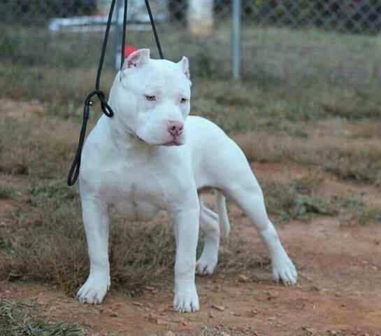 Solid White Pitbull Terrier American Pitbull Terrier Bully Dog